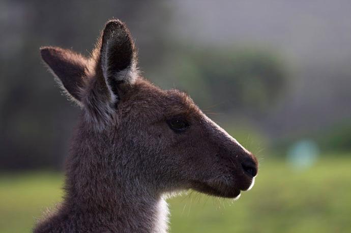 Kangaroo dawn