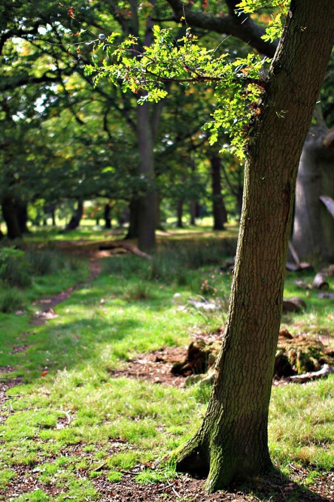 A tree in Richmond Park, London