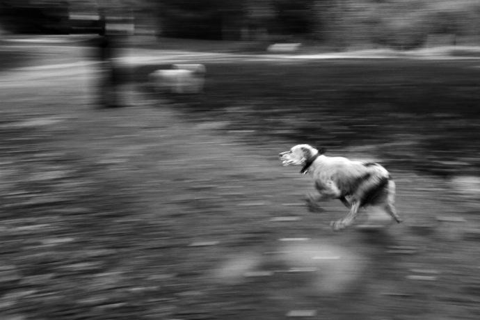 Motion blurred dog running