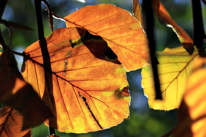 An orange and yellow blacklit autumn leaf