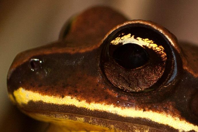 Green Thighed Frog Litoria Brevipalmata