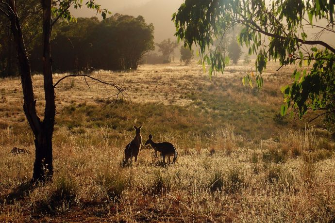 Warrumbungles More Roos.jpg